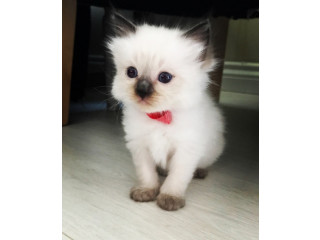 (Ragdoll Kittens available now)
