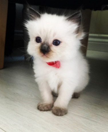 ragdoll-kittens-available-now-big-0
