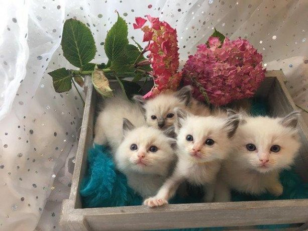 ragdoll-kittens-available-now-big-1