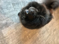 best-behaved-chow-chow-puppies-ready-to-go-for-new-homes-small-1