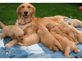 Agreeable Golden Retriever puppies for sale