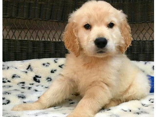 Golden retrievers puppies to give out for pet loving families