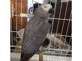 african-gray-parrots-for-sale-small-0