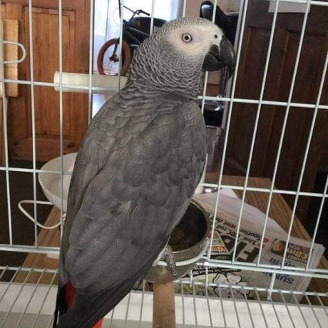 african-gray-parrots-for-sale-big-0