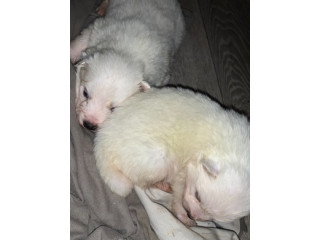 Potty Trained Samoyed Puppies For Sale