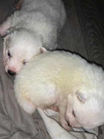 potty-trained-samoyed-puppies-for-sale-big-2